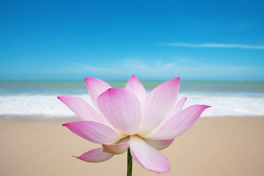 Lotus blossom on beach