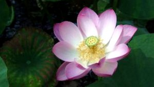 pink therapeutic lotus flower